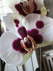 (doloreslopez2) Tags: macro flora flor blanca orquidea morada manchas