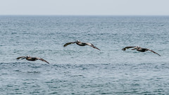 _DSC1790 (chriswheatley97) Tags: obx outer banks nc north carolina beach sand ocean pelican bird