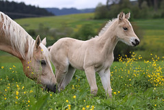 Rose with her Mom Raya (EXPLORED 2016/06/17) (winkler.roger) Tags: horse animal filly foal momanddaughter americanquarterhorse domesticanimal