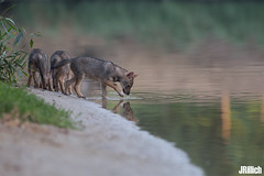 family life at sunset - golden jackals, wilder Goldschakal, Canis aureus syriacus @ Tel Aviv, Israel 2016, June, urban nature (Jan Rillich) Tags: life park family sunset urban sun nature beautiful beauty animal june fauna digital canon photography eos golden living israel photo telaviv spring flora foto fotografie sonnenuntergang jackal image jan wildlife familie young picture free sunny pack urbannature canon5d pup guest wilder offspring tier pflege yarkon ramatgan aureus welpe 2016 canis animalphotography syriacus hayarkon goldenjackal asiaticjackal commonjackal canon300mm reedwolf nahalhayarkon goldschakal 5dmarkiii janrillich rillich canisaureussyriacus