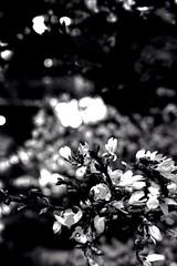 'Money Tree I' ... chuc mng nm mi 2016 (MABworks) Tags: california macro losangeles vietnamese bokeh chinese traditions chinesenewyear vietnam blacknwhite bnw lunarnewyear lunarcalendar envelopes redenvelope vietnamesenewyear moneytree macrophotography sangabrielvalley macrophotos macroshots macropics blacknwhitephotography bokehlicious photographylover bokehshots bnwphotography bokehlover bnwphotos bokehphotography blacknwhiteshots bokehphoto beyondbokeh bokehphotos bnwpics blacknwhitepictures bnwshots blacknwhitephotos macroonly bokehpics