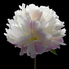 Peony W (Pixel Fusion) Tags: flower macro nature flora nikon peony d600