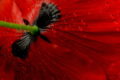 Red poppy (Funchye) Tags: flower nikon 60mm d610