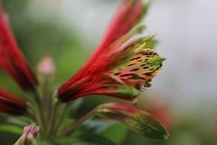 Yurizuisen (sorakaze.so) Tags: park red summer flower shinjukugyoen narcissus