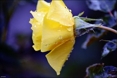 yellow roses (franciska_bosnjak) Tags: roses flower nature yellow drops nikon raindrops waterdrops d3100