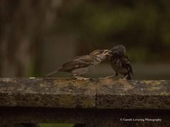 Feeding time in the Wind & Rain6 (Gareth Lovering Photography 3,000,594 views.) Tags: birds garden feeding wildlife feeder starling olympus sparrow 75300mm lovering em1 garethloveringphotography