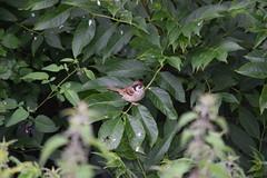 Tree Sparrow (dgspen) Tags: ireland nature birds wildlife northernireland ulster treesparrow rspb portmorelough