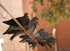 stanbul summer 2016 (hafssacloake) Tags: summer turkey pigeons istanbul line together