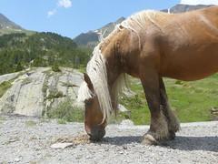 P1000230 (Franois Magne) Tags: cheval libert poulain jument blond blonde bai frange montagne etang lanoux estany de lanos lac pyrnes
