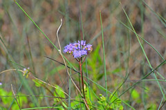 Blue Mistflower, Texas, Kleberg County, Padre Island National Seashore (EC Leatherberry) Tags: gulfofmexico texas nationalparkservice wildflower padreislandnationalseashore conocliniumcoelestinum bluemistflower
