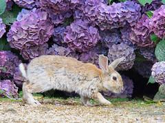 B6250614 (VANILLASKY0607) Tags: rabbit bunny bunnies nature animal japan photo wildlife wildanimal hydrangea rabbits rabbitisland wildrabbit okunoshima