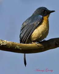 Bird on a branch (Tickell's Blue Flycatcher)
