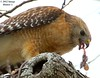 Red-shouldered Hawk Enjoying Ear Of Rat - Bayou Courtableau, Louisiana (Image Hunter 1) Tags: tree eye nature birds tongue rat louisiana branch feeding eating branches tail beak feathers bayou swamp ear marsh redshoulderedhawk canoneos7d birdslouisiana bayoucourtableau