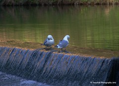 Cleanliness is next to godliness! (Tanyaluk Photography) Tags: seagulls durham riverwear weir