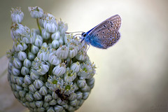 (saeid.goodarzi) Tags: flower nature butterfly nice