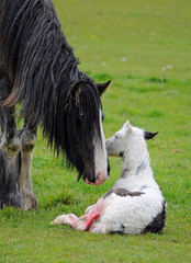 Mare and Foal (tad2106 - Trudie Davidson Photography) Tags: horse baby nature born mare birth mother newborn newlife foal babyanimal mareandfoal marewithherfoal