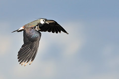 Il volo della pavoncella (ste.it) Tags: bird flying flight volo lapwing northern peewit vanellus pavoncella