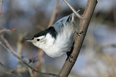 White Breasted Nuthatch (K Fletcher) Tags: canada calgary bird alberta whitebreastednuthatch inglewood