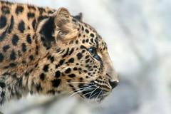 Determination (Penny Hyde) Tags: leopard bigcat sandiegozoo