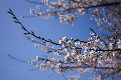 IMGP6879 (Amad) Tags: flower japan spring   sakura kiryu