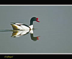 Tarro Blanco (Tadorna tadorna) (eb3alfmiguel) Tags: blanco aves tarro anatidae acuaticas