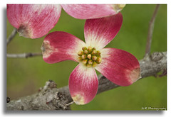 Pink Dogwood Blossom (photojourney57 (Thank You for 100,000+ Views!!)) Tags: pink flower macro tree nature beautiful closeup outdoors photography petals spring nikon branch dof blossom bokeh tennessee depthoffield neighborhood bloom dogwood neighbors springtime treebranch 2012 flowerpetals macrophotography floweringtree pinkdogwood putnamcounty cookevilletn middletennessee inclose d5000 nearbynature jlrphotography nikond5000