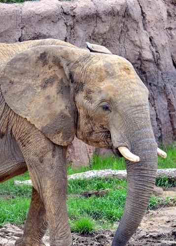 Elephant Dallas Zoo