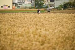 - The sea of wheat on Daya township (prince470701) Tags: wheat taiwan   taichungcity  sonya850 sony135zaf18 dayatownship
