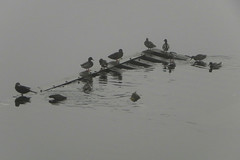 The home (Cna1_10) Tags: wood bw mist black bird home water fog river wave bunch