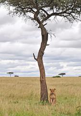 the lion pose (Hector del Hoyo) Tags: africa wild animals kenya nairobi safari mara animales len kenia masai elefante sabana masaimara rinoceronte libres safarifotogrfico animalessalvajes hectordelhoyo