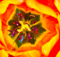 Red and Yellow Tulip. (Omygodtom) Tags: wild flower macro nature lens star nikon heart pdx 18105 d7000