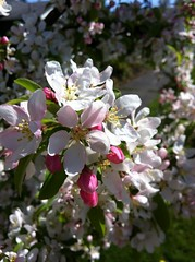 Primavera / Spring / Frhling (pbeppler) Tags: seattle wild primavera apple fruit washington spring flor stock sidewalk boto bud ornamental blte baum corderosa apfel apfelbaum frhling crabapple calada florido ma rosinha plen fruteira rosado blhte knopf ptala seattl frling stateofwashington ornamentaltree ebbl rosadinho rvoreornamental rosabranco eppl fruitingtree brancorosa caladadepasseio madomato apfelstock ppelstock pplstock bbelstock bblstock epplstock eppelstock ebbelstock ebblstock macieirasilvestre silvestrewildeapfelbaum ppl pplboom epplboom bbl bbleboom wildapfelblhte wildpplblihte wildapfelblumen flordemacieirabrava macieirabrava holzbapfel holzppel holzppl holzeppel holzeppl holzbbl holzbbel fussgang macierabraba macieiraornamental