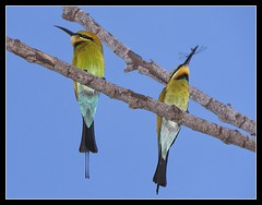 Rainbow Bee-eaters (Merops ornatus) (oosh) Tags: darwin rainbowbeeeater meropsornatus colorphotoaward borderfx thewonderfulworldofbirds lumixgvario100300f4056