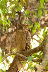 Brown Fish Owl (....NishanT.... [busy]) Tags: india bird nature birds owl 300mmf28 tadoba brownfishowl ketupazeylonensis tatr tc17 nikond90 tadobaandharitigerreserve