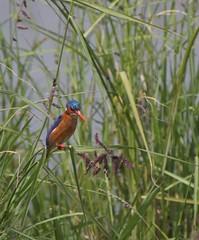 Malachite Kingfisher 2 (pinkfootpat catching up) Tags: bird kenya kingfisher avis masaimara malachitekingfisher kicheche