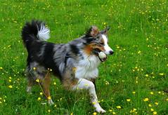 (Arnolt S.) Tags: dog dogs aussie australianshepherd hunde nikonafs5018g