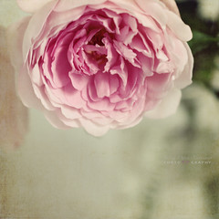 roses have thorns (silviaON) Tags: flower june rose vase textured 2012 oa floralessence bsactions pioneerwomanactions oracope kimklassentexture