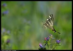 DSA_6286-2-25-06-2012_f (r.zap) Tags: fiori zap farfalle parcodelticino rzap robertozappaterra
