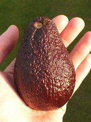 Avocado (Persea americana) fruit (shadowshador) Tags: life plants plant fruit avocado wildlife americana plantae biology scientific taxonomy classification magnoliophyta magnoliopsida magnoliidae lauraceae eukaryota spermatophyta laurales tracheobionta persea archaeplastida neomura
