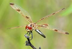 Pennant Perch (Emery O) Tags: dragonfly odonata celithemis eponina celithemiseponina