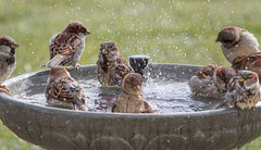 Splish Splash ~ Having a Pool Party ~ Everyone is Invited! (Tony Tanoury) Tags: wild bird nature animal closeup fauna bill birdbath wildlife ngc beak feather sparrow perch housesparrow ornithology birdwatching avian supershot specanimal passerdomestic
