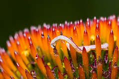 worm eating coneflower (loco's photos) Tags: orange plant flower macro colorful purple feeding pentax echinacea cone head eating vibrant geometridae coneflower kr worm destructive spiny inchworm eupitheciamiserulata panagor9028