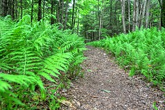 Fern Lined Trail (dxd379) Tags: nikon hiking pennsylvania trail ferns hdr morrisontrail d5000