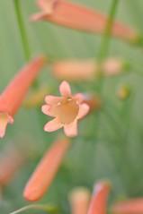 那些年。。。(All Those Years) (Anna Kwa) Tags: flowers macro naturereserves russeliaequisetiformis coralplant firecrackerplant fountainplant coralblow artsingapore