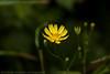 Single Flower (Eilia ABH) Tags: flower yellow canon photography 1855mm وردة ورود زهرة 500d ورد تصوير ورده كانون زهور زهره فوتوغرافي فوتوجرافي