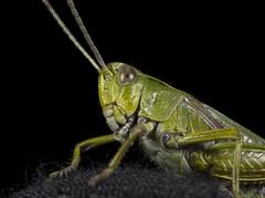 Grasshopper (Michael Hopwood) Tags: macro grasshopper