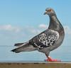 Balance Beam Pro (Susan Hall Frazier) Tags: sports nature birds florida pigeon humor gymnastics olympics avian balancebeam stpetersburgflorida stpetepier fbdg blinkagain bestofblinkwinners