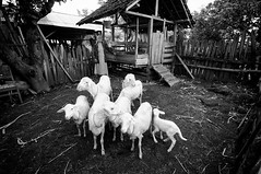 (Cak Bowo) Tags: ranch bw woman digital indonesia nikon snapshot documentary goat tokina dslr documentation kambing eastjava dokumentasi probolinggo peternakan 1116mm d300s tokina1116mmf28 tokina1116mm nikond300s desapurut