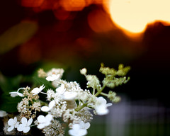 An Impression of Flowers at Evening (GRO Photography) Tags: flowers sunset blur fence 50mm bokeh buds f12 shallowdof