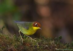 Chestnut-headed Tesia / Tesia castaneocoronata /  (bambusabird) Tags: nature natural wildlife bird birds tesia rainforest forest chiangmai thailand